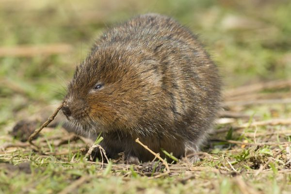 Types of Norfolk Wildlife: Water Vole