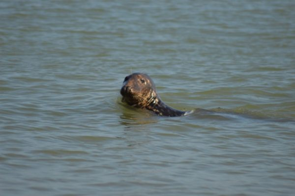 When searching for the most beautiful spots in Norfolk, consider Horsey beach with its adorable seal population.